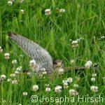 Falke bei der Jagd
