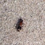 Ameisenwespe