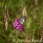 Schachbrett (Melanargia galathea) auf Orchidee