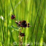 Sumpfblutauge (typische Moorpflanze)