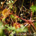 Sonnentau ( Drosera spec.) -  fleischfressende Pflanze