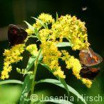 Rotbraunes Ochsenauge (Pyronia tithonus) auf Goldrute