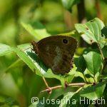 Blauäugiger Waldportier (Minois dryas)