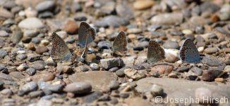 Bläulinge (Kleiner Sonnenröschen-Bläuling (Aricia agestis) und Vogelwicken-Bläuling (Polyommatus amandus))