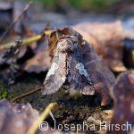 Blaukopf (Diloba caeruleocephala