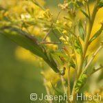 Mantis im Goldregen
