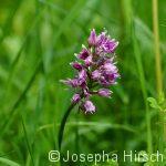 Liliental: Affen-Knabenkraut (Orchis singe)