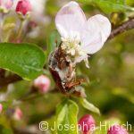 Fressender Feldmaikäfer auf Apfelblüte