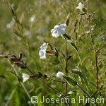 Lichtnelke (Silene latifolia)