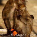 Java-Affen
