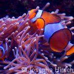 Anemonenfisch in seiner Anemone