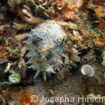 Kleine Seespinne (Maja crispata)